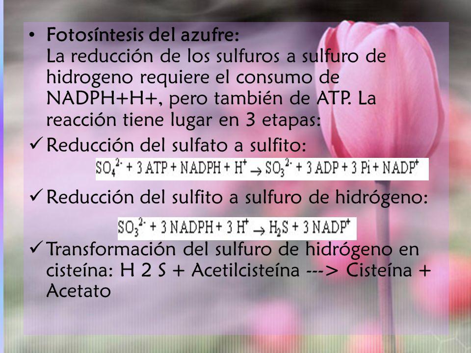 Fotosíntesis del azufre: La reducción de los sulfuros a sulfuro de hidrogeno requiere el consumo de NADPH+H+, pero también de ATP. La reacción tiene lugar en 3 etapas: