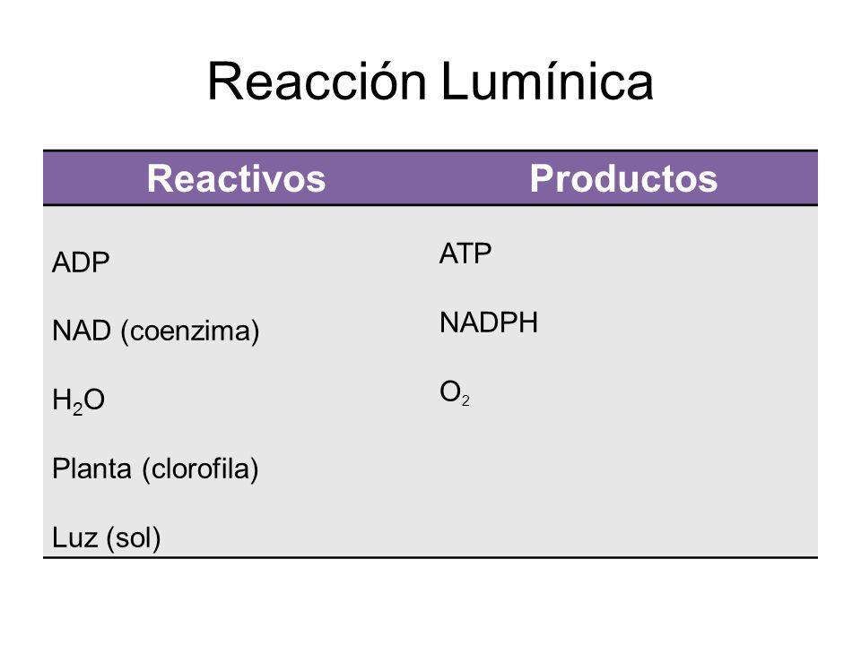 Reacción Lumínica Reactivos Productos ATP ADP NADPH NAD (coenzima) O2