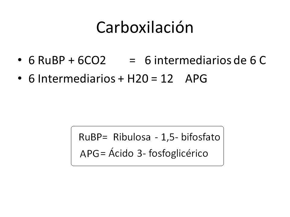 Carboxilación 6 RuBP + 6CO2 = 6 intermediarios de 6 C