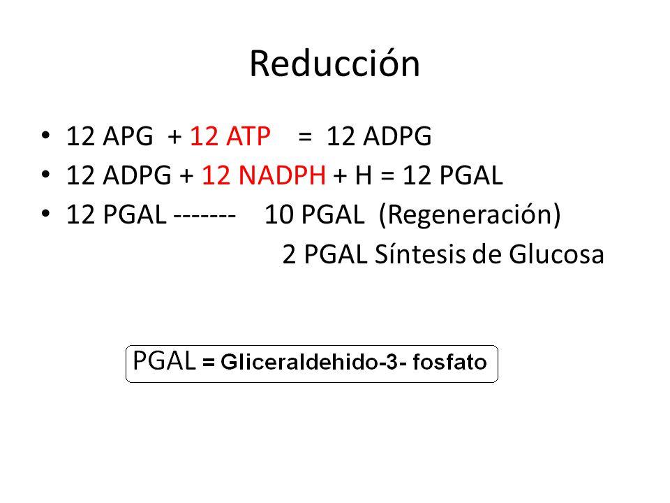 Reducción 12 APG + 12 ATP = 12 ADPG 12 ADPG + 12 NADPH + H = 12 PGAL