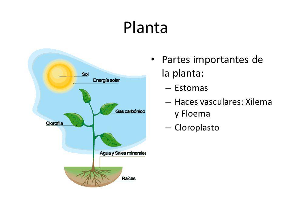 Planta Partes importantes de la planta: Estomas