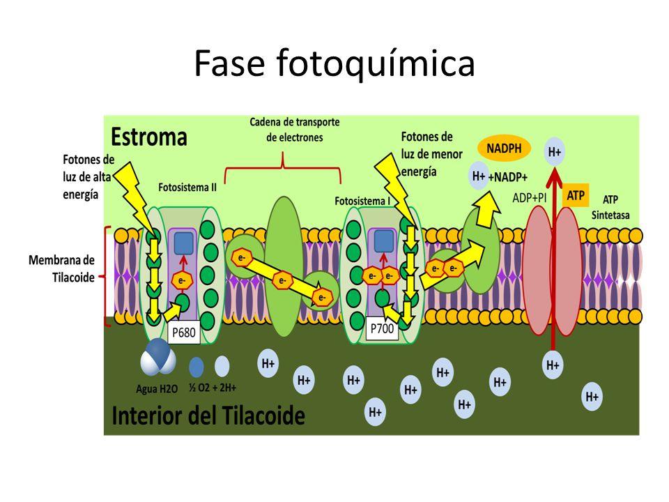 Fase fotoquímica