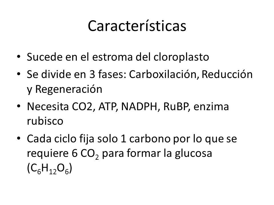 Características Sucede en el estroma del cloroplasto