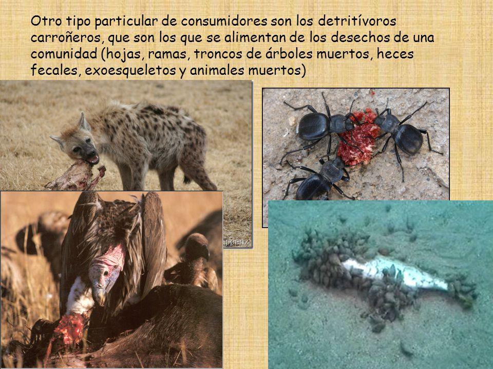 Otro tipo particular de consumidores son los detritívoros carroñeros, que son los que se alimentan de los desechos de una comunidad (hojas, ramas, troncos de árboles muertos, heces fecales, exoesqueletos y animales muertos)