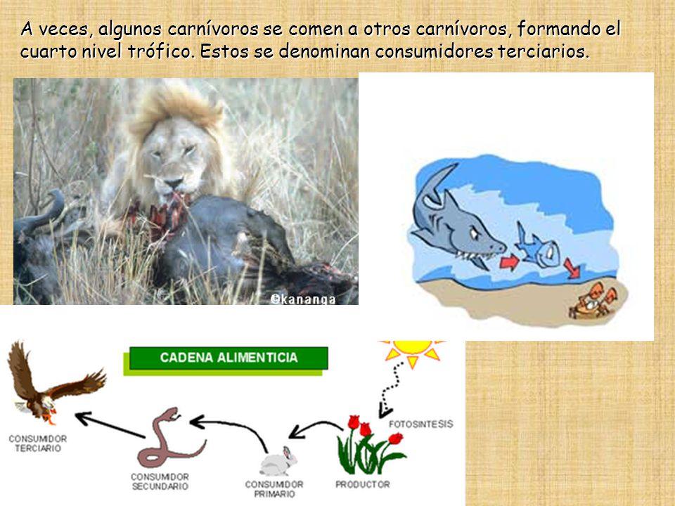 A veces, algunos carnívoros se comen a otros carnívoros, formando el cuarto nivel trófico.