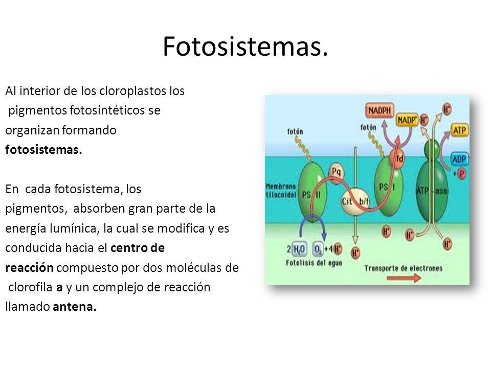 Fotosistemas. Al interior de los cloroplastos los