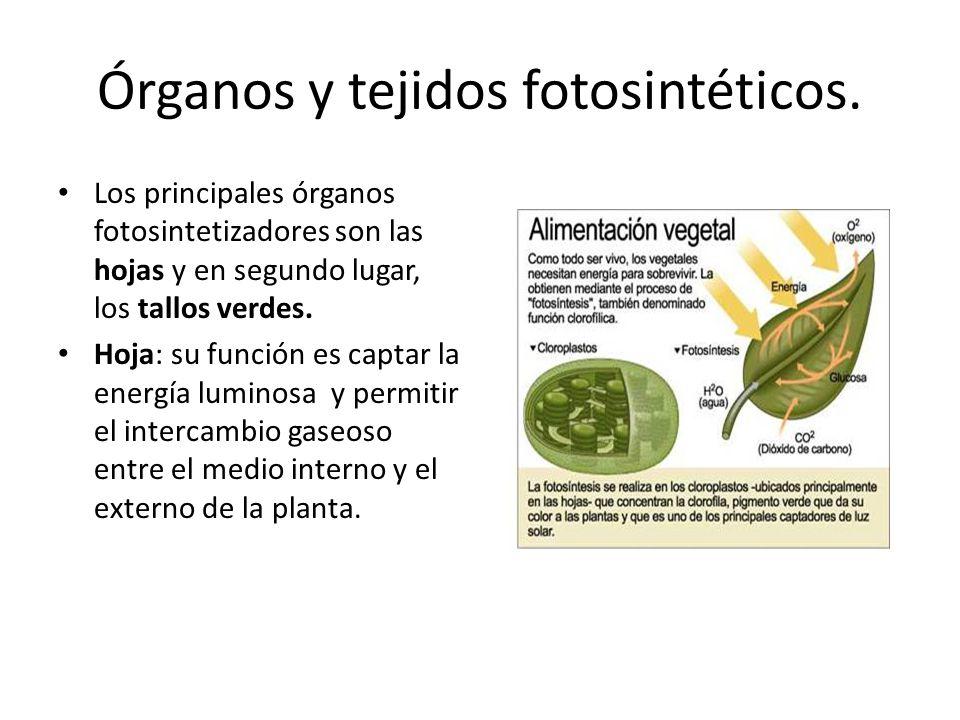 Órganos y tejidos fotosintéticos.