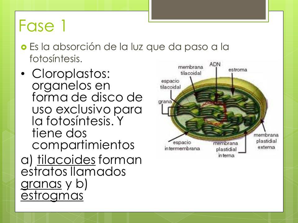 Fase 1 Es la absorción de la luz que da paso a la fotosíntesis.