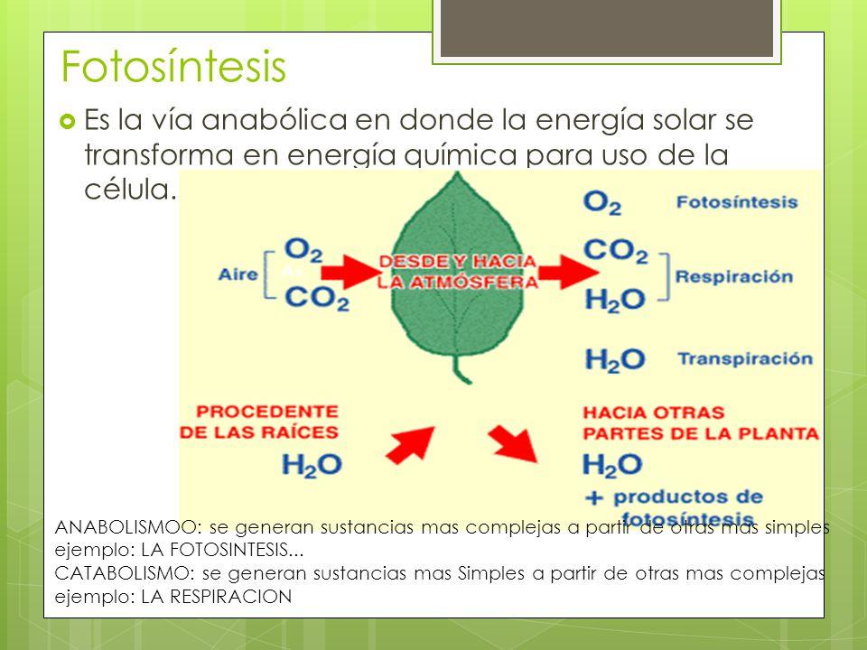 Fotosíntesis Es la vía anabólica en donde la energía solar se transforma en energía química para uso de la célula.