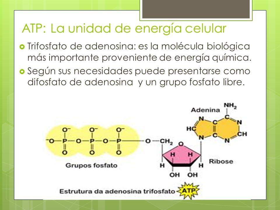 ATP: La unidad de energía celular