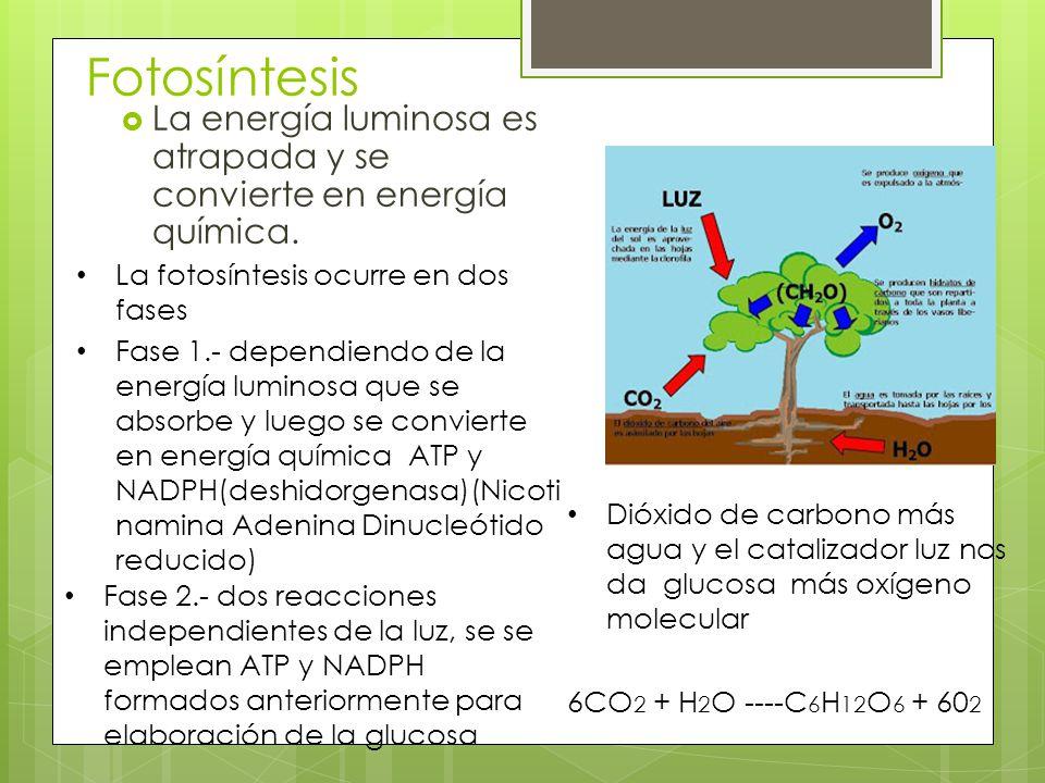 Fotosíntesis La energía luminosa es atrapada y se convierte en energía química. La fotosíntesis ocurre en dos fases.