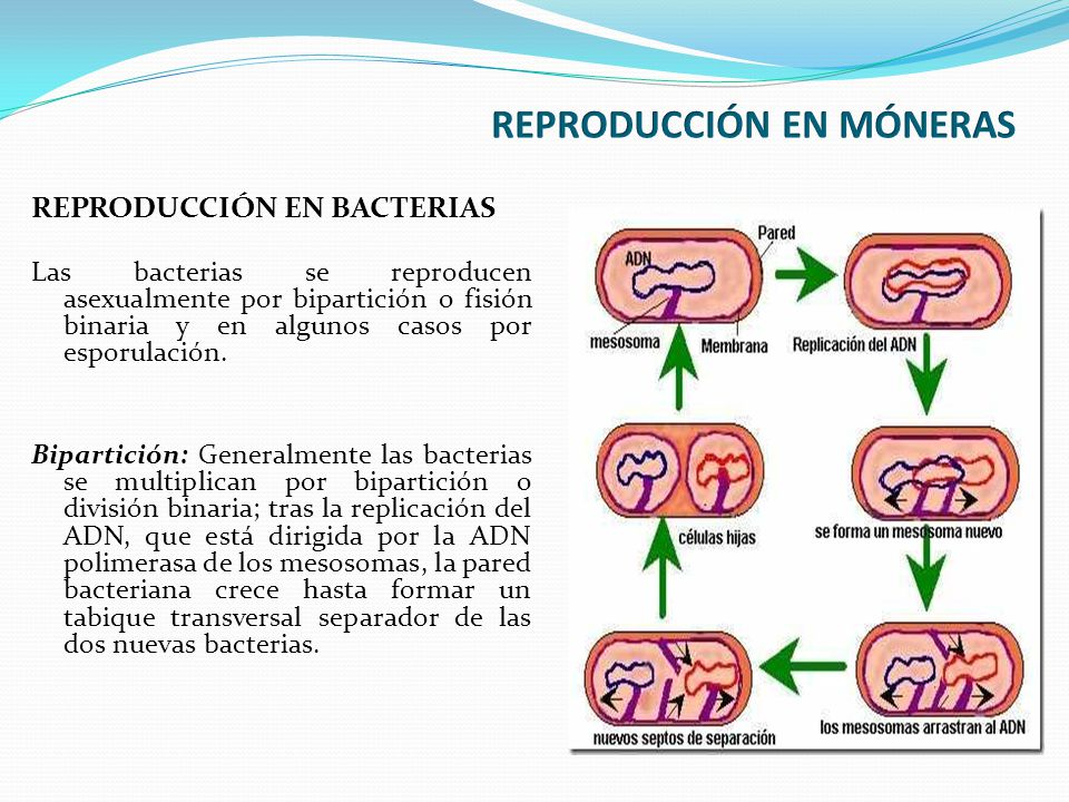 REPRODUCCIÓN EN MÓNERAS
