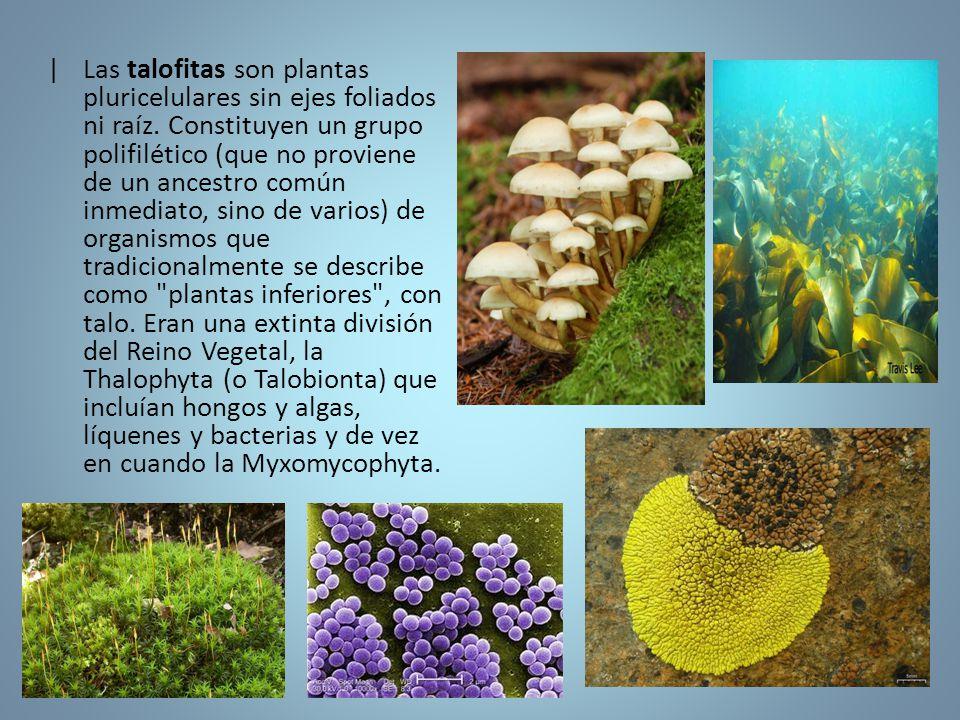 |. Las talofitas son plantas pluricelulares sin ejes foliados ni raíz
