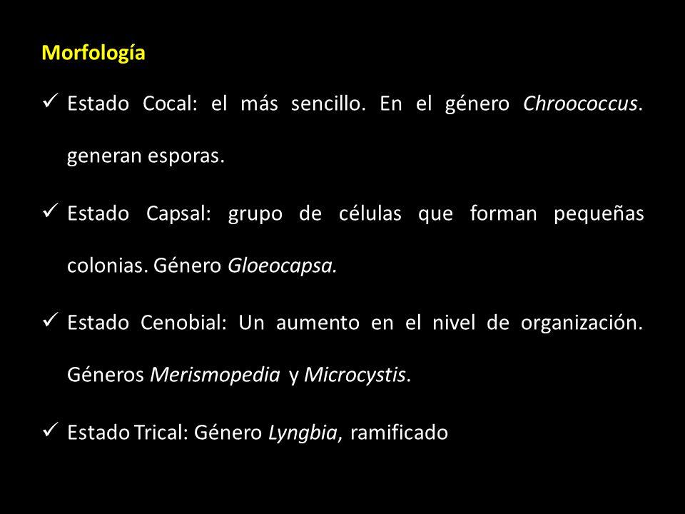 Morfología Estado Cocal: el más sencillo. En el género Chroococcus. generan esporas.