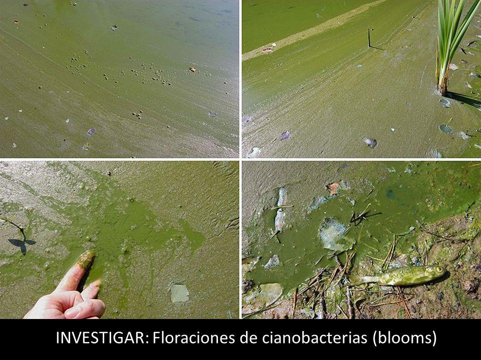 INVESTIGAR: Floraciones de cianobacterias (blooms)