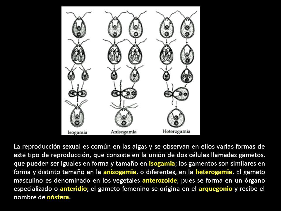 La reproducción sexual es común en las algas y se observan en ellos varias formas de este tipo de reproducción, que consiste en la unión de dos células llamadas gametos, que pueden ser iguales en forma y tamaño en isogamia; los gamentos son similares en forma y distinto tamaño en la anisogamia, o diferentes, en la heterogamia.