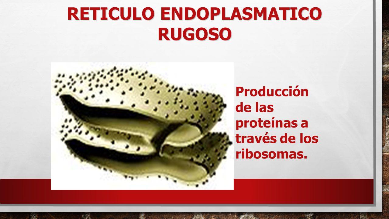 RETICULO ENDOPLASMATICO RUGOSO