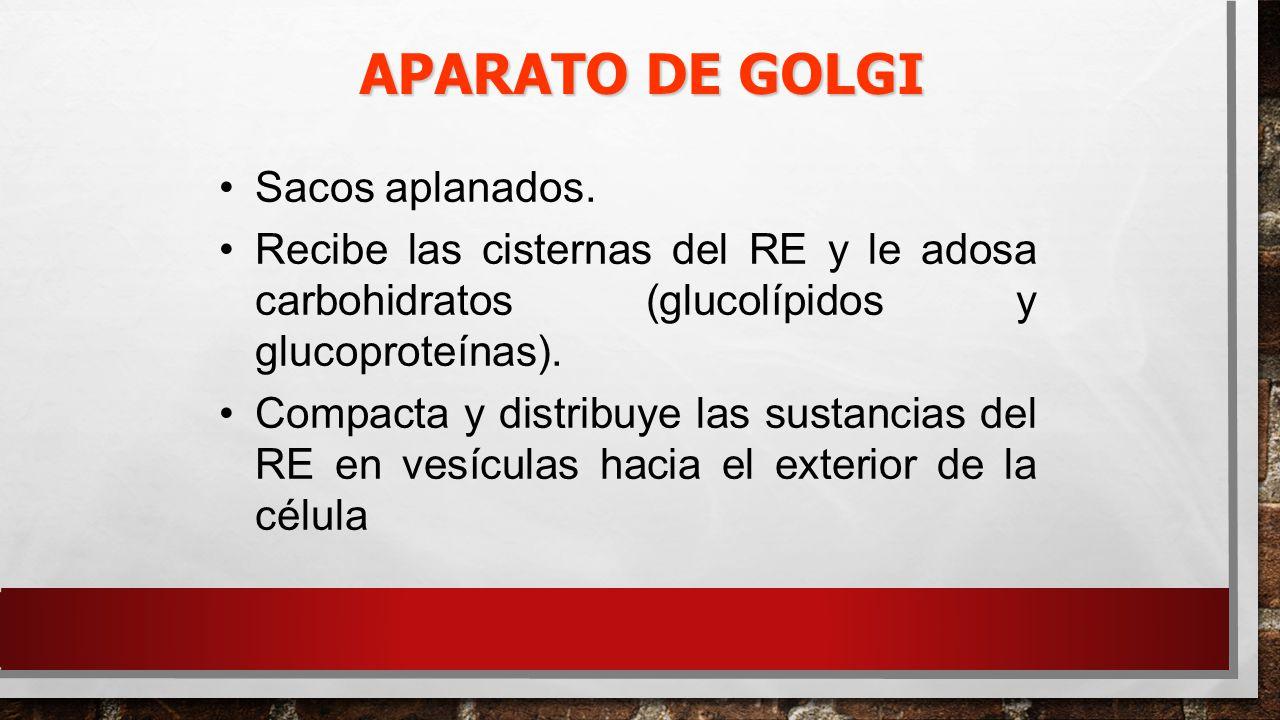 APARATO DE GOLGI Sacos aplanados.