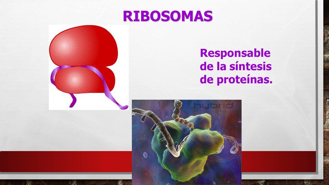 RIBOSOMAS Responsable de la síntesis de proteínas.