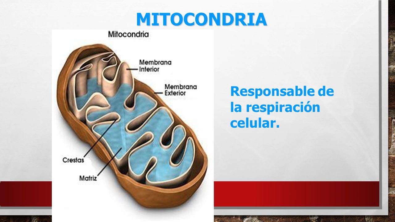 MITOCONDRIA Responsable de la respiración celular.