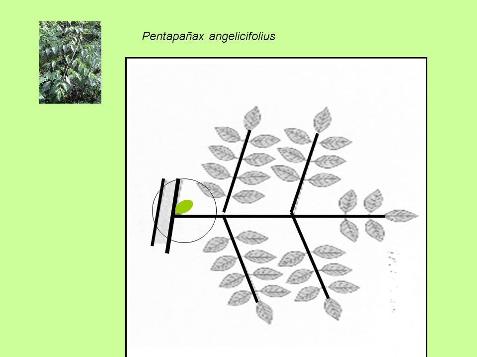 Pentapañax angelicifolius