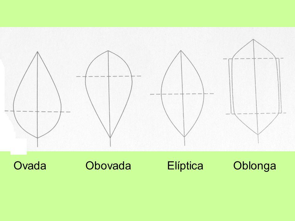 Ovada Obovada Elíptica Oblonga