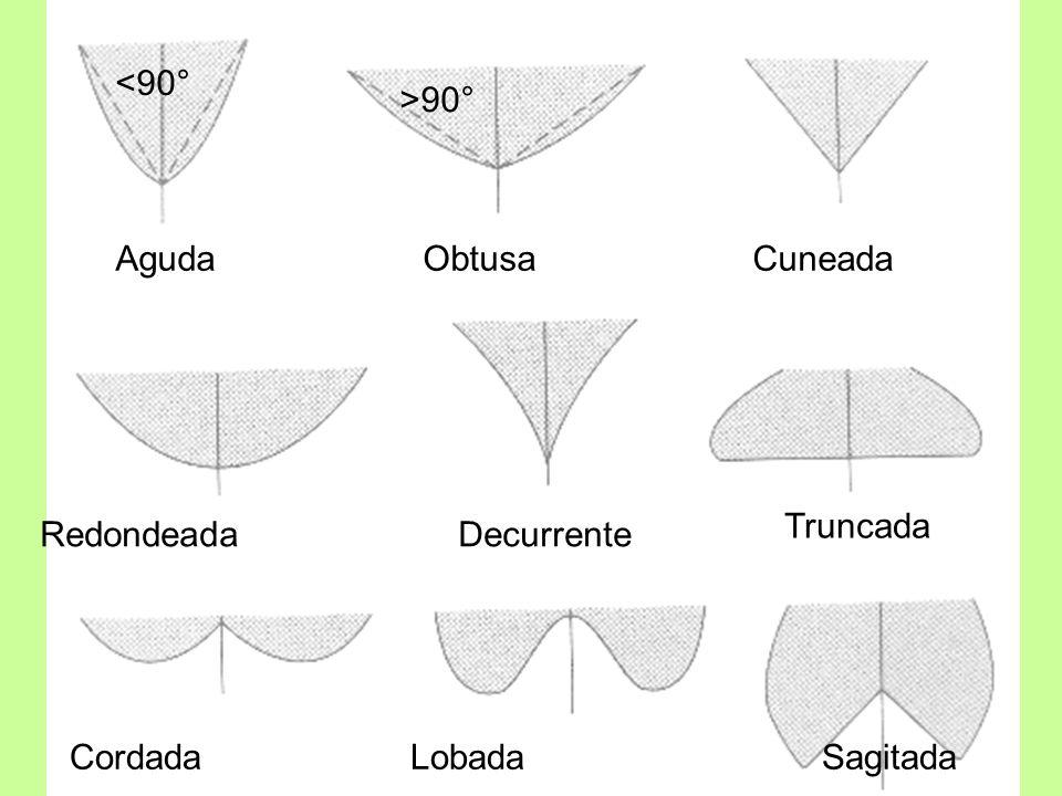 <90° >90° Aguda Obtusa Cuneada. Truncada. Redondeada Decurrente.
