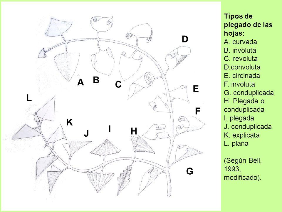 D B A C E L F K I H J G Tipos de plegado de las hojas: A. curvada