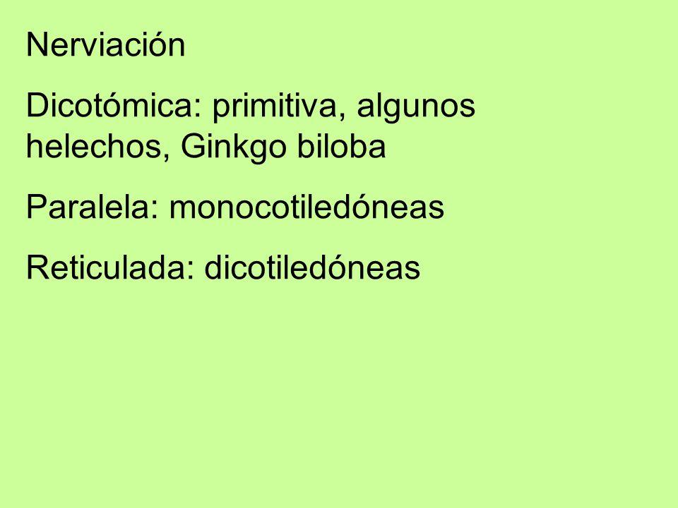 Nerviación Dicotómica: primitiva, algunos helechos, Ginkgo biloba.