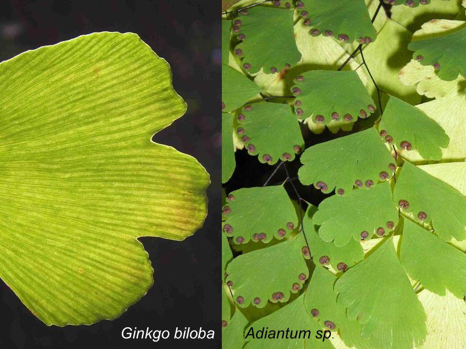 Ginkgo biloba Adiantum sp.