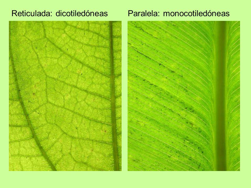 Reticulada: dicotiledóneas Paralela: monocotiledóneas