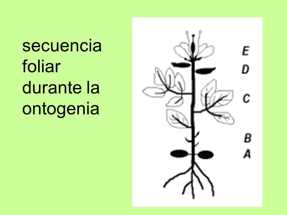 secuencia foliar durante la ontogenia