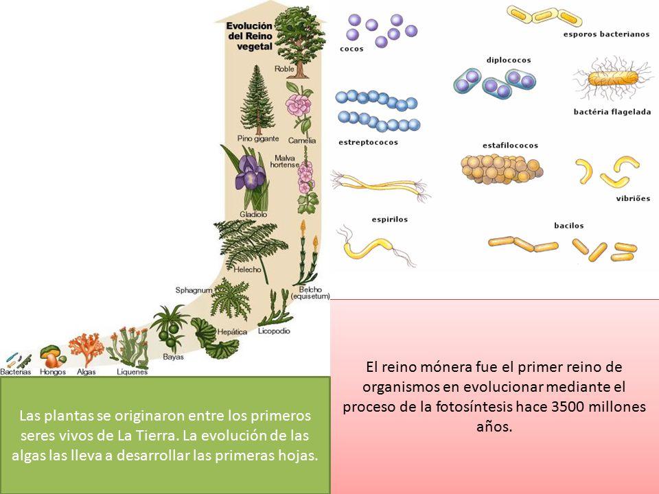 El reino mónera fue el primer reino de organismos en evolucionar mediante el proceso de la fotosíntesis hace 3500 millones años.
