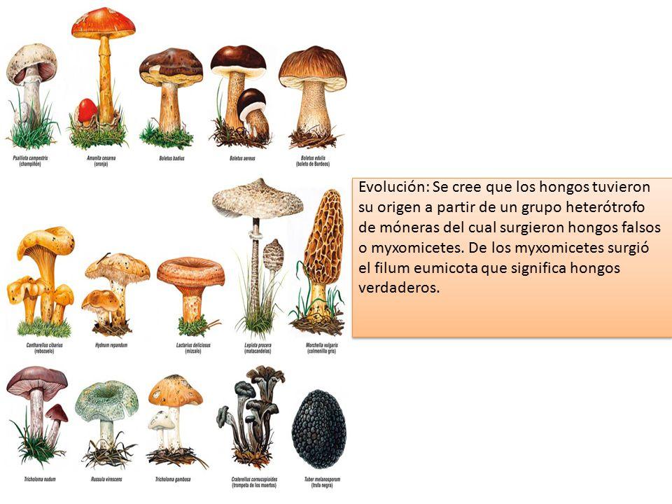 Evolución: Se cree que los hongos tuvieron su origen a partir de un grupo heterótrofo de móneras del cual surgieron hongos falsos o myxomicetes.
