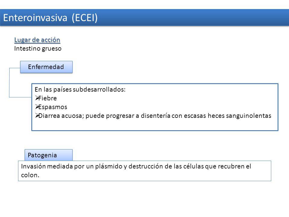 Enteroinvasiva (ECEI)