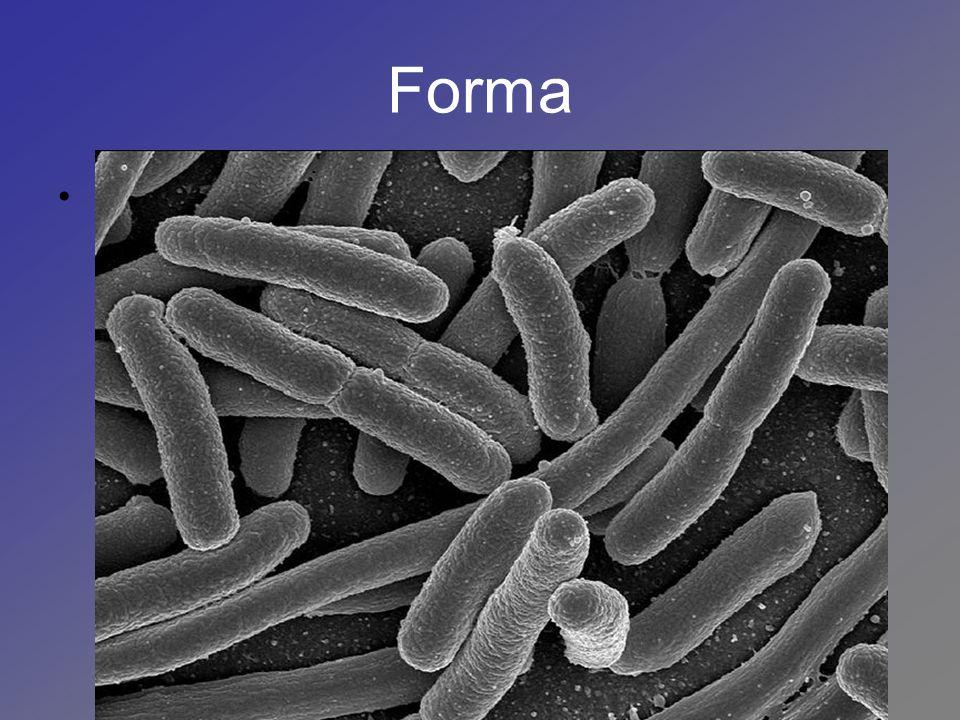 Forma Bacilo