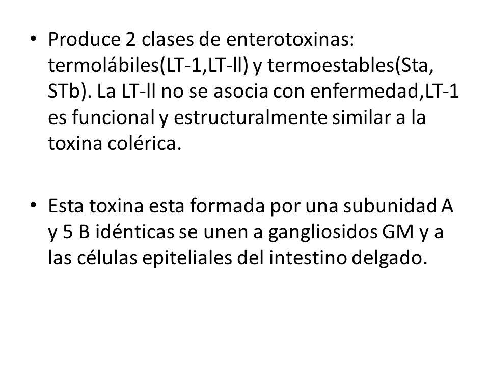 Produce 2 clases de enterotoxinas: termolábiles(LT-1,LT-ll) y termoestables(Sta, STb). La LT-ll no se asocia con enfermedad,LT-1 es funcional y estructuralmente similar a la toxina colérica.