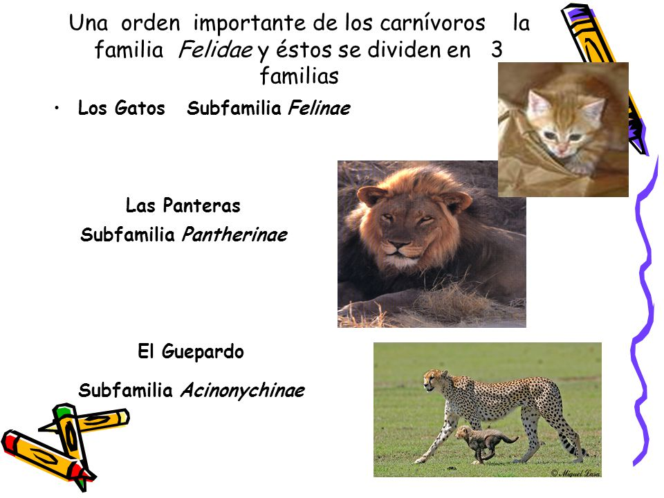 Subfamilia Pantherinae Subfamilia Acinonychinae