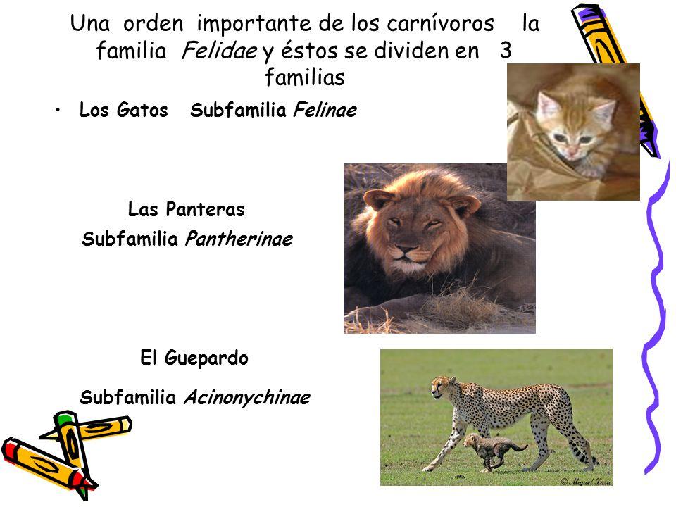 Subfamilia Pantherinae Subfamilia Acinonychinae