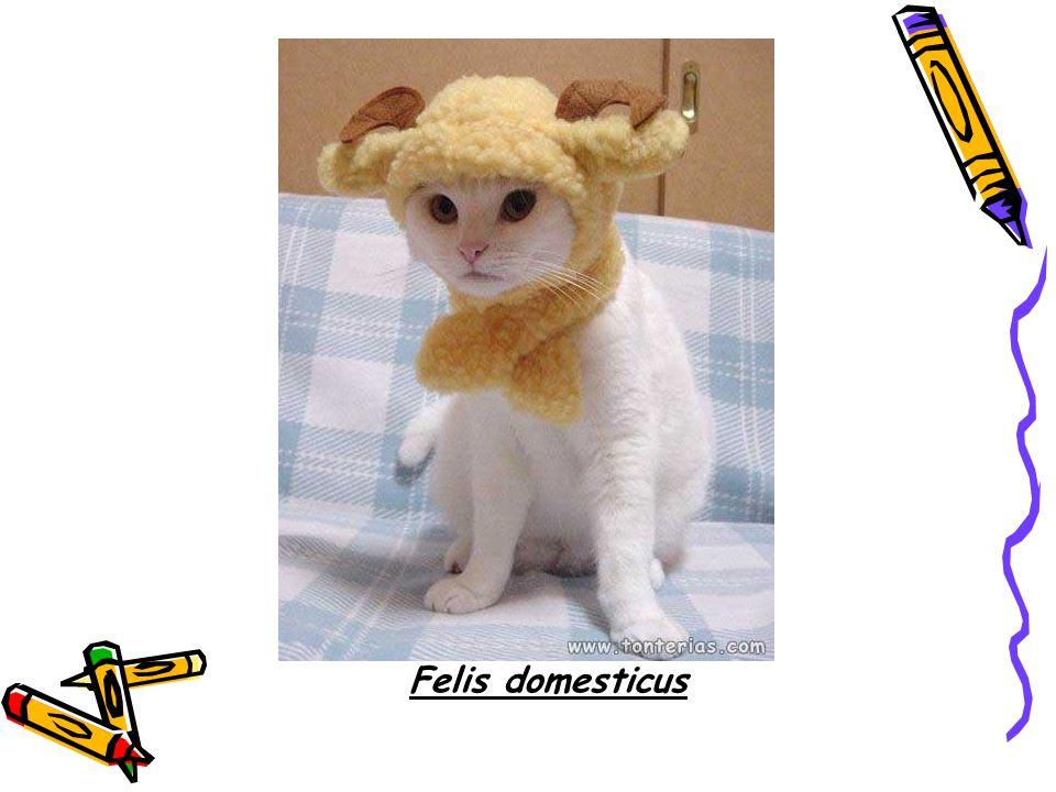 Felis domesticus