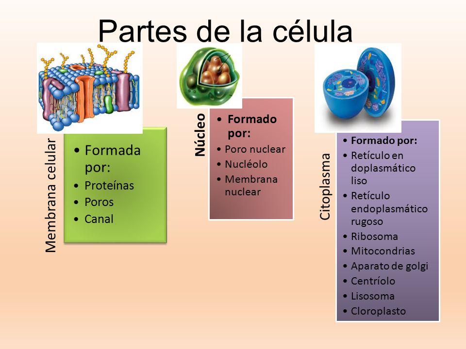 Partes de la célula Formada por: Membrana celular Núcleo Citoplasma