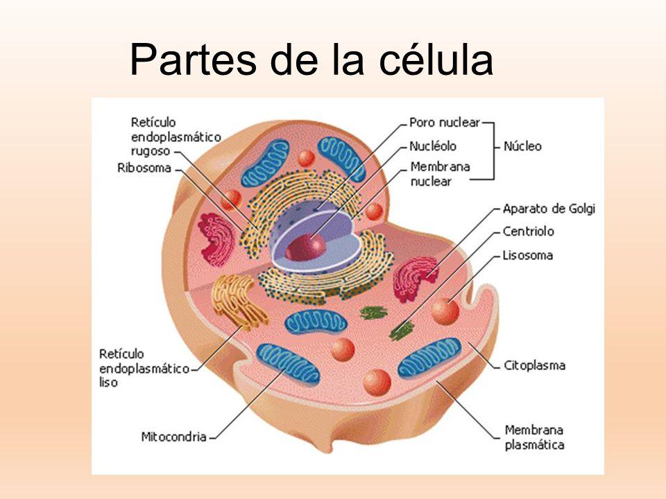 Partes de la célula Ver: http://seresvivosmovera.webnode.es/las-celulas/