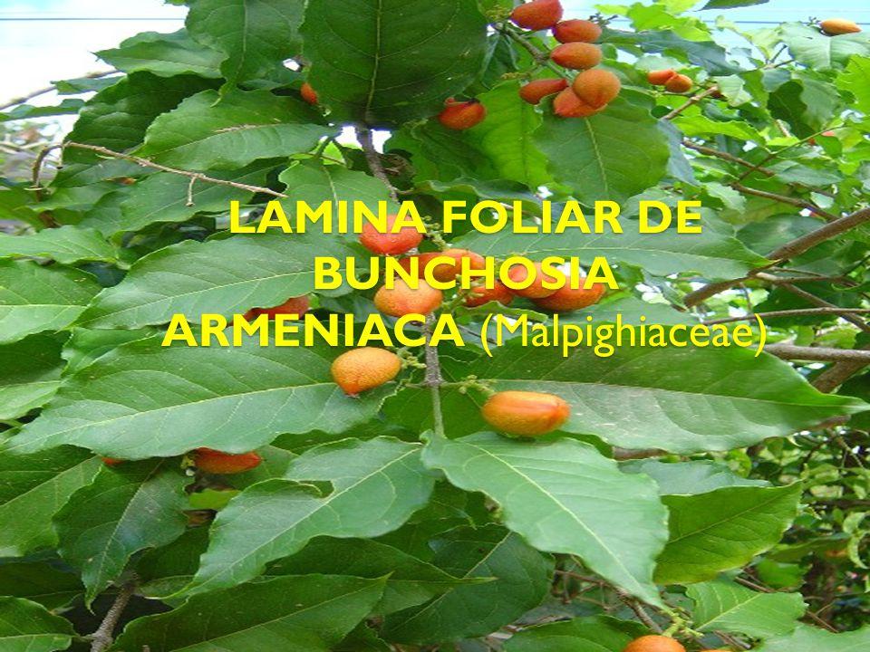 LAMINA FOLIAR DE BUNCHOSIA ARMENIACA (Malpighiaceae)