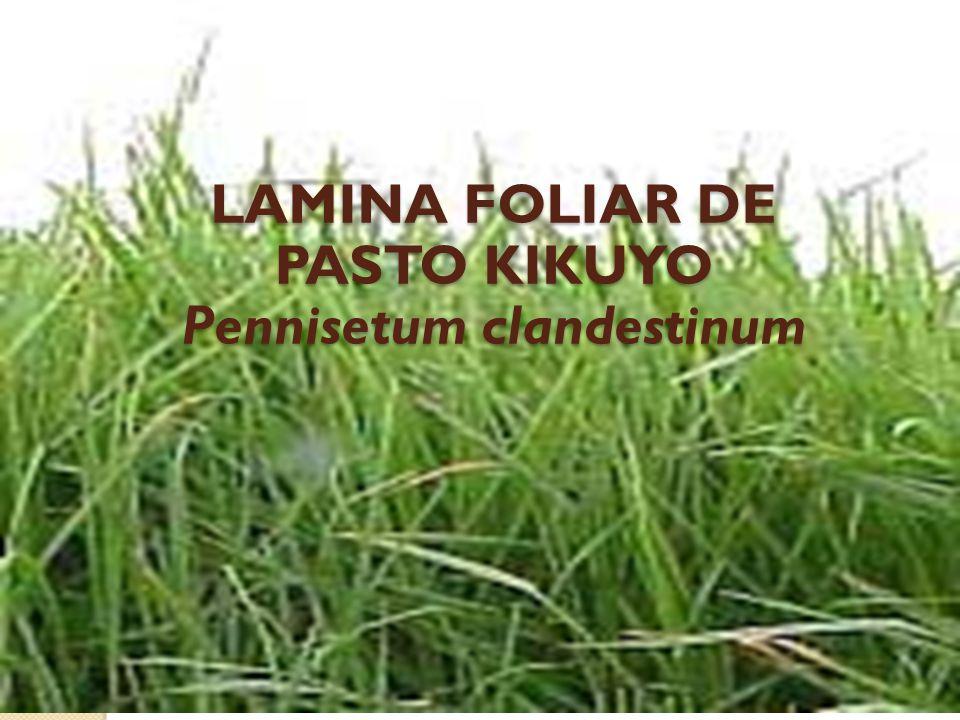 LAMINA FOLIAR DE PASTO KIKUYO Pennisetum clandestinum