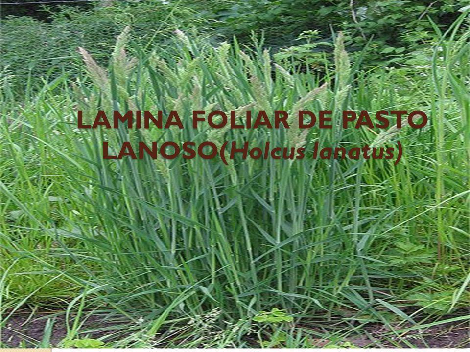 LAMINA FOLIAR DE PASTO LANOSO(Holcus lanatus)