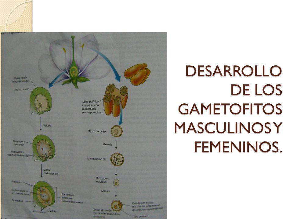 DESARROLLO DE LOS GAMETOFITOS MASCULINOS Y FEMENINOS.