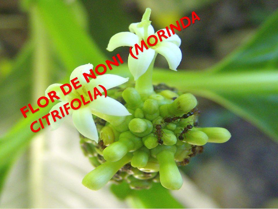 FLOR DE NONI (MORINDA CITRIFOLIA)