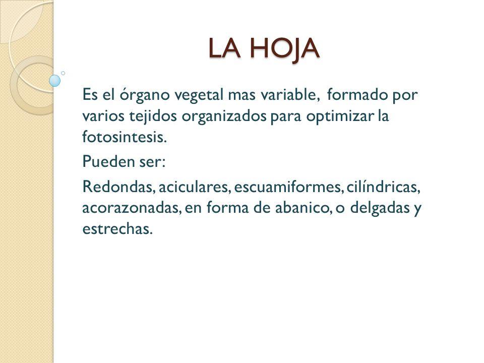 LA HOJA Es el órgano vegetal mas variable, formado por varios tejidos organizados para optimizar la fotosintesis.