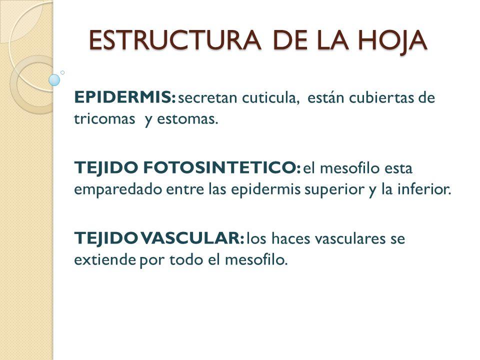 ESTRUCTURA DE LA HOJA EPIDERMIS: secretan cuticula, están cubiertas de tricomas y estomas.