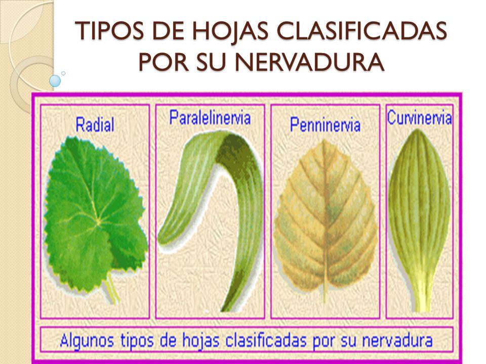 TIPOS DE HOJAS CLASIFICADAS POR SU NERVADURA